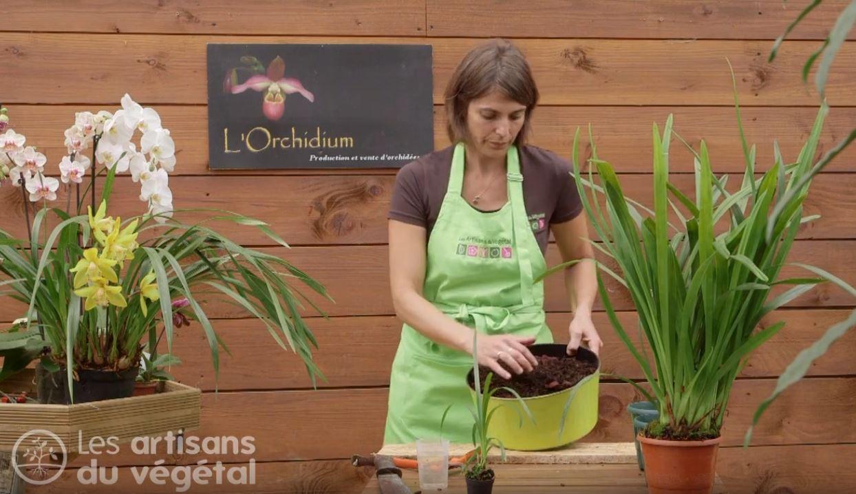 Comment Planter Une Orchidée comment diviser et rempoter une orchidée ? le cimbidium